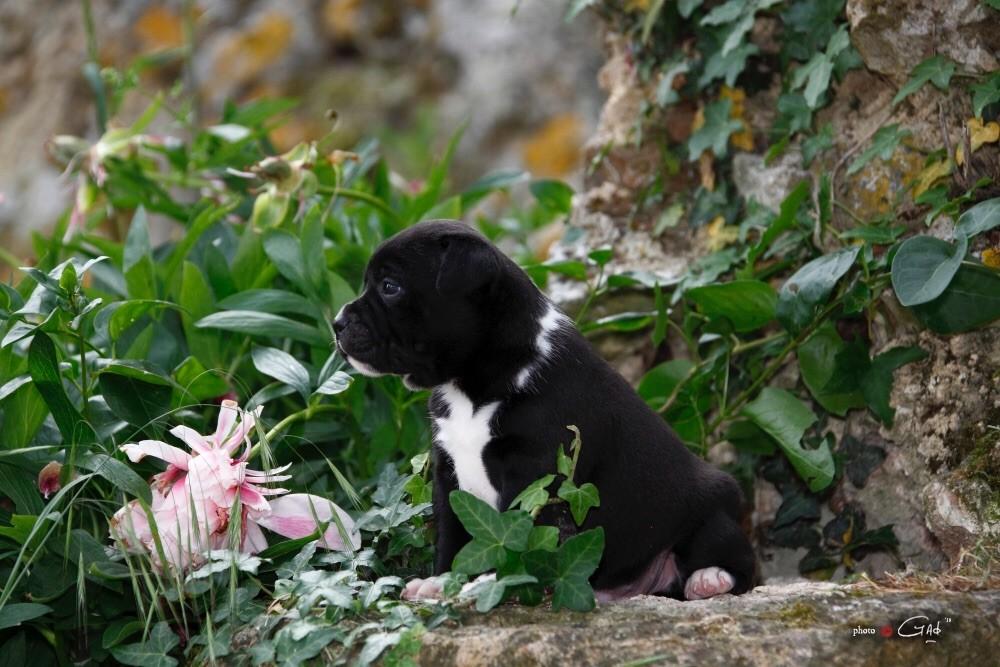 Orient-Express du Soleil Vert  - Staffordshire Bull Terrier