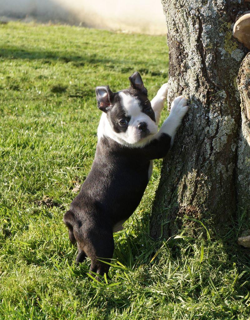 OKIA - Boston Terrier