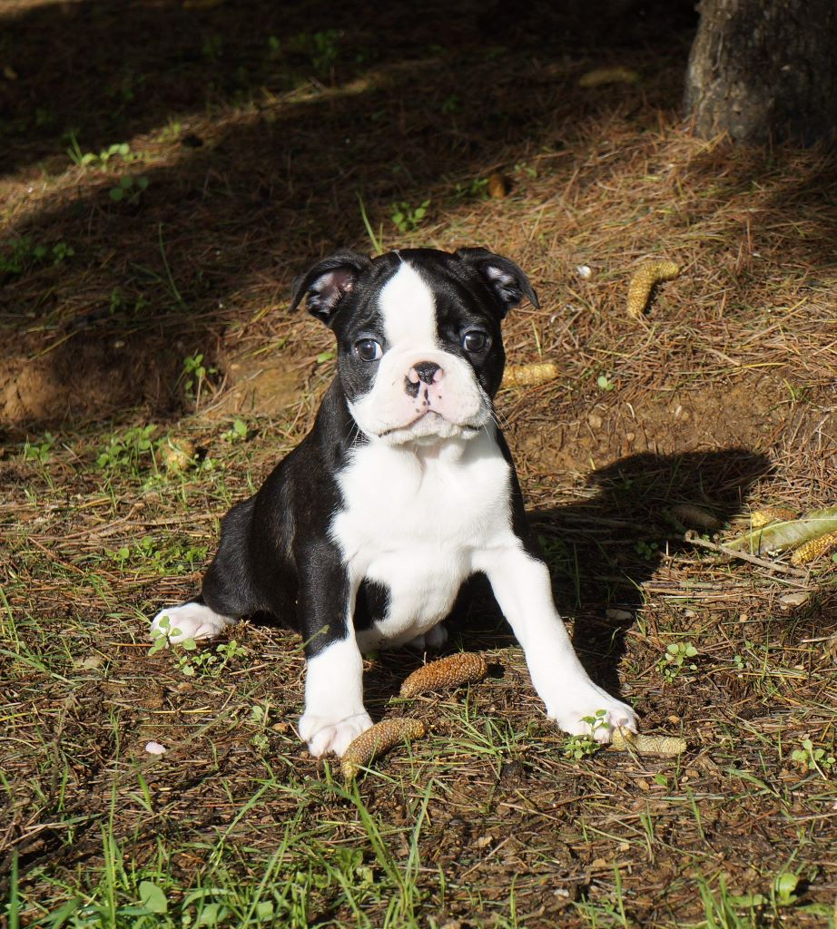 De La Source Des Rochettes - Chiot disponible  - Boston Terrier