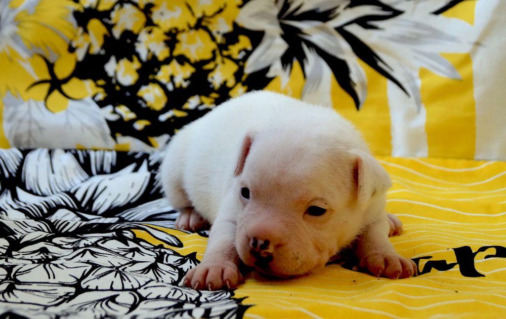 Ovie - Staffordshire Bull Terrier