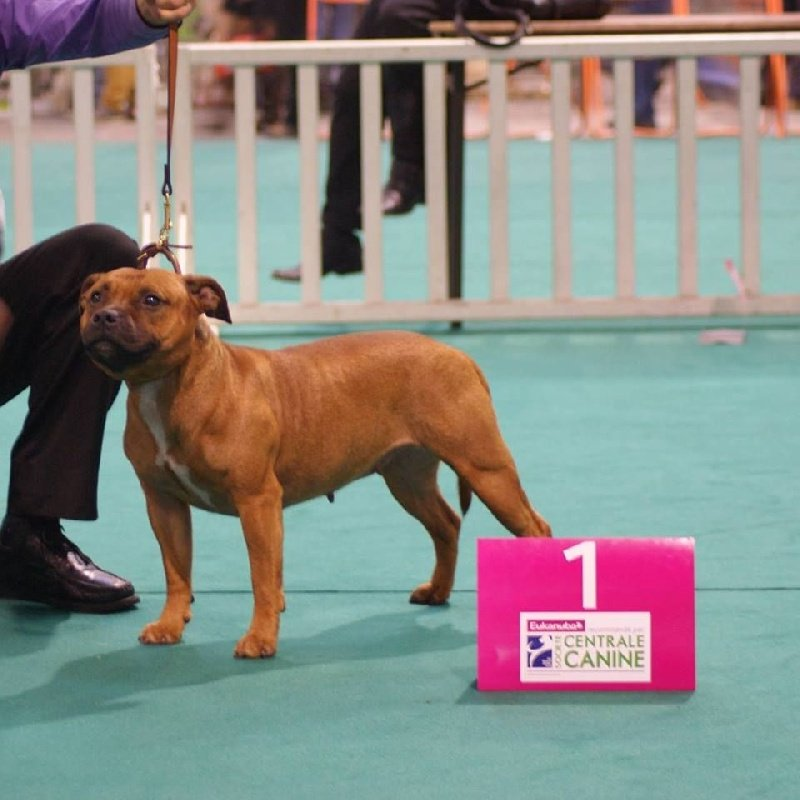 centrale canine staffie