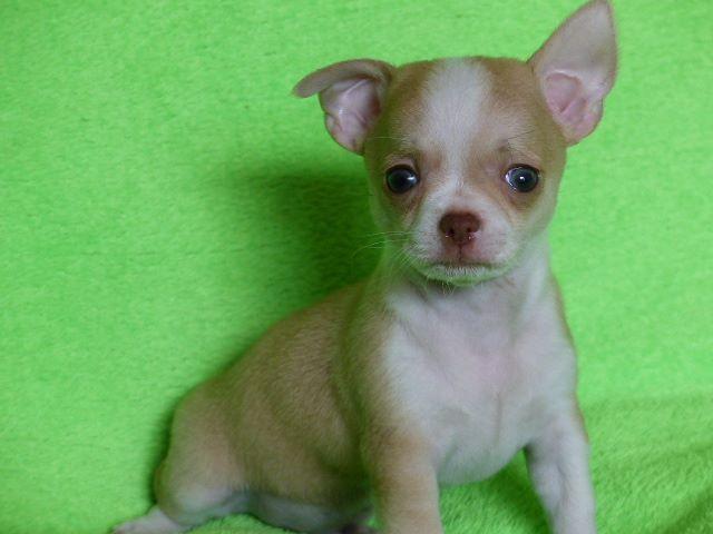 O' n°1 - Chihuahua