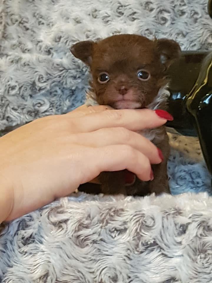 Du Massif De La Treille - Chiot disponible  - Chihuahua