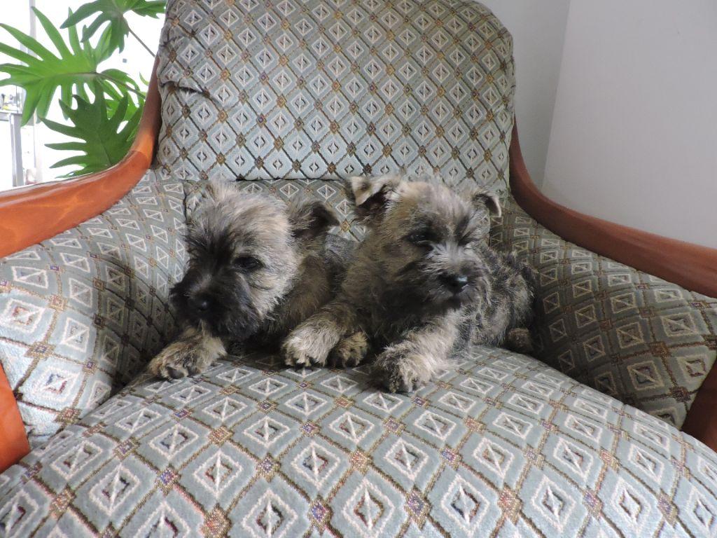 CHIOT - Cairn Terrier