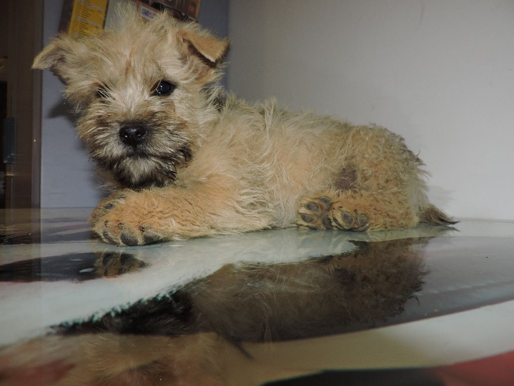 Feeling Cottage - Chiot disponible  - Cairn Terrier