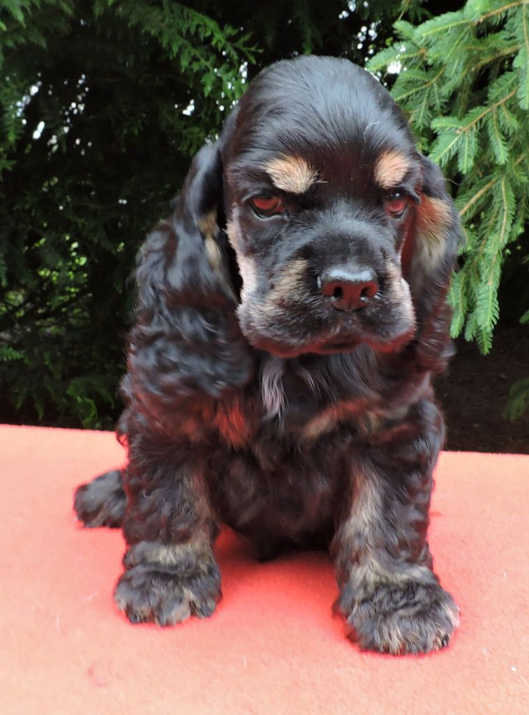 Hall Of Lords - Chiot disponible  - American Cocker Spaniel