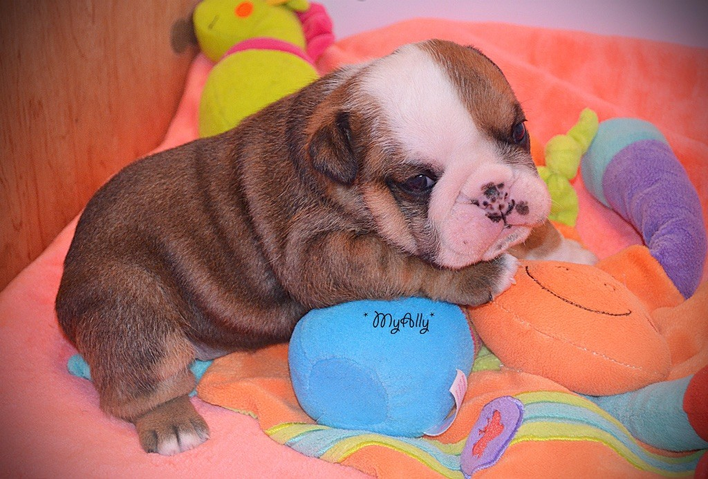 Myally Bulldog - Chiot disponible  - Bulldog Anglais
