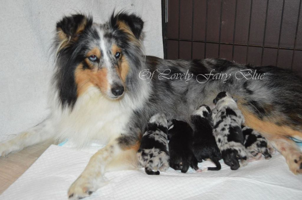 Of Lovely Fairy Blue - Shetland Sheepdog - Portée née le 02/10/2019