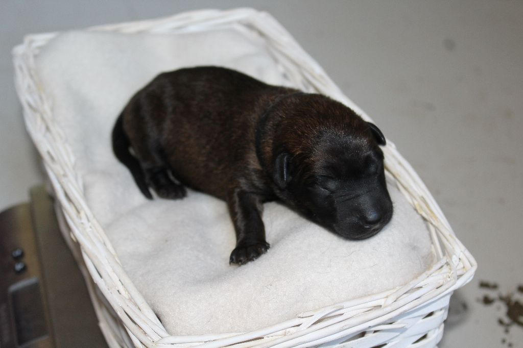 Du Second Souffle - Chiot disponible  - Berger Belge