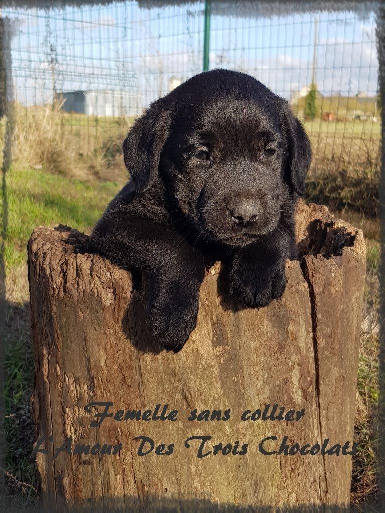 FEMELLE NOIRE - Labrador Retriever