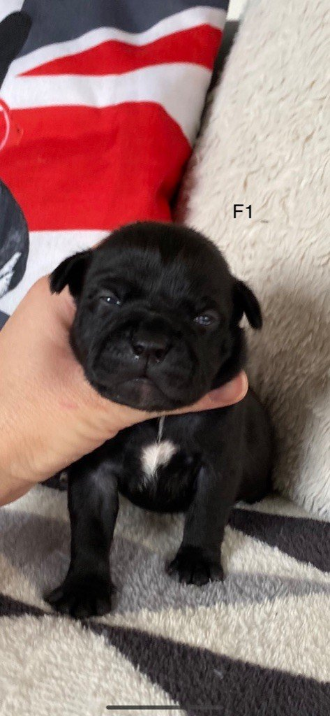 Of The Releve - Chiot disponible  - Staffordshire Bull Terrier