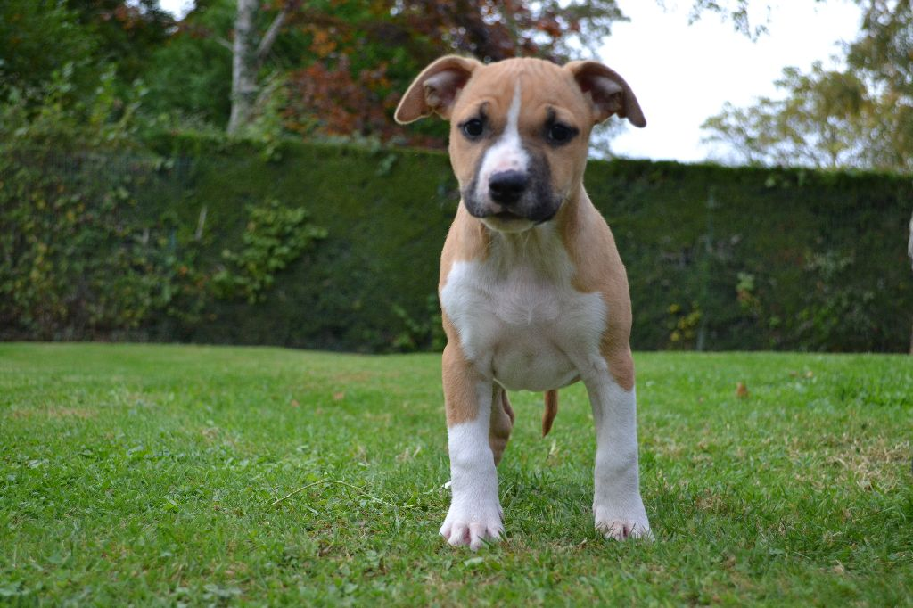 Perfect Girl Of Belair Family - American Staffordshire Terrier