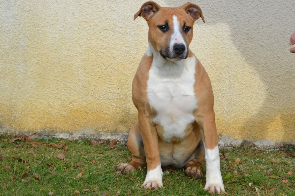 of Belair Family - Chiot disponible  - American Staffordshire Terrier