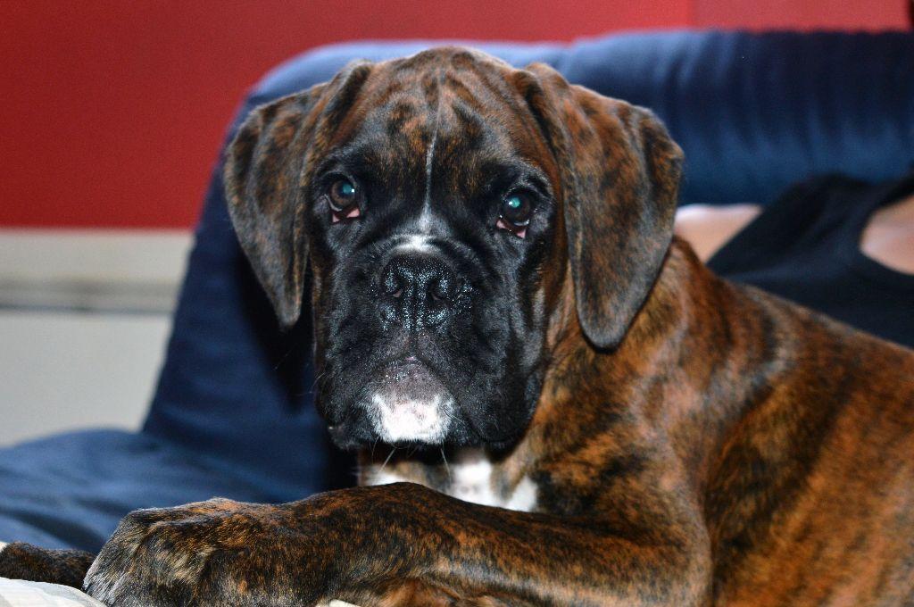 Otto - Boxer