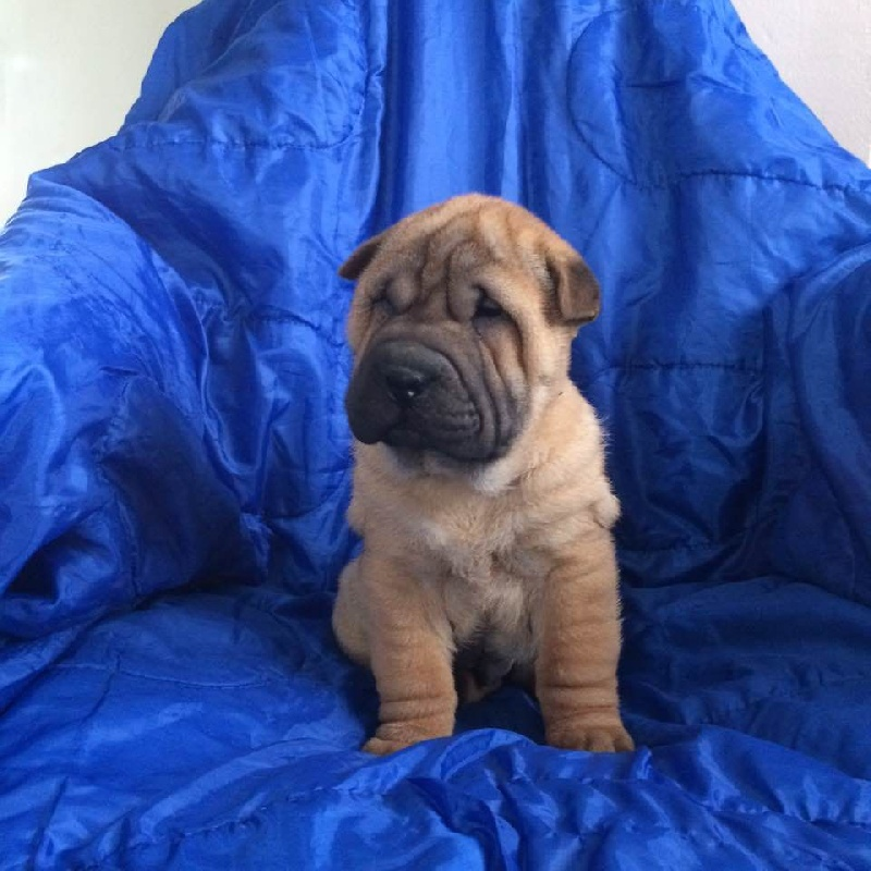 Du Temple De Guan Yu - Chiot disponible  - Shar Pei