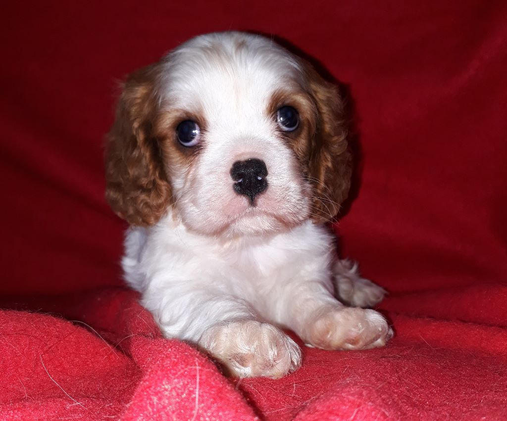 Nouky - Cavalier King Charles Spaniel