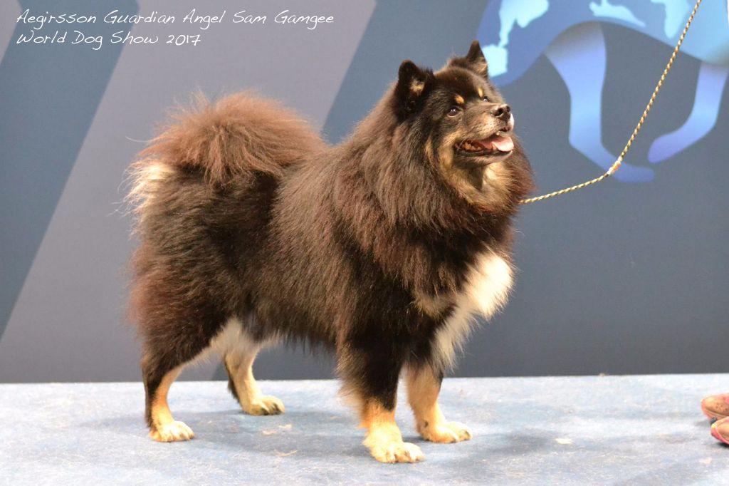 Aegirsson - Sam 3ème champion au World Dog Show