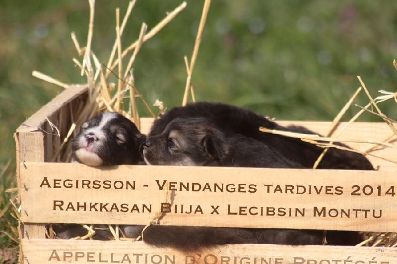 Aegirsson - Chien finnois de Laponie - Portée née le 18/02/2014
