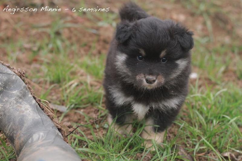 chiot chien finnois de laponie minnie femelle disponible en grand est 67 bas rhin toutes. Black Bedroom Furniture Sets. Home Design Ideas