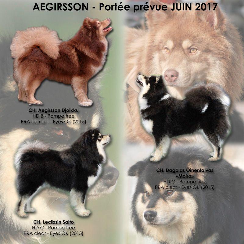 Aegirsson - Chien finnois de Laponie - Portée née le 10/06/2017