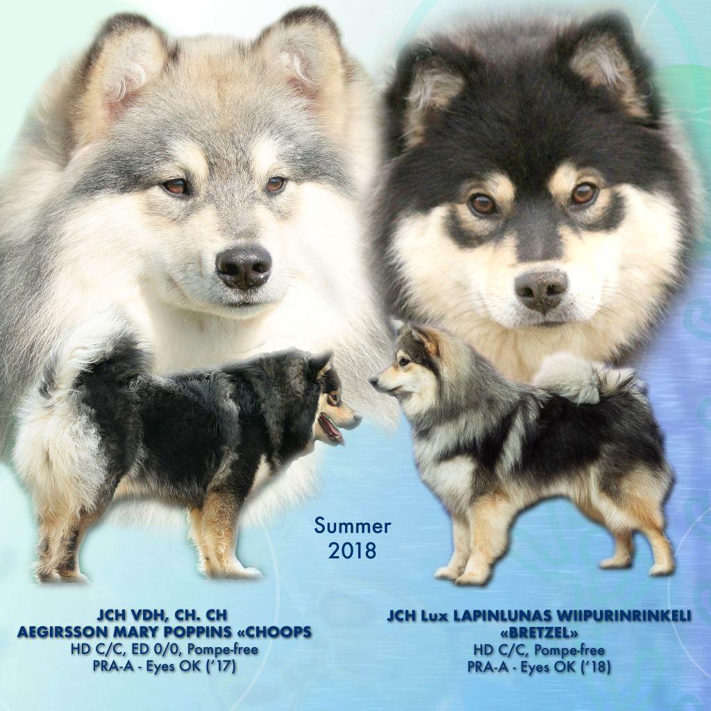 Aegirsson - Chien finnois de Laponie - Portée née le 17/08/2018