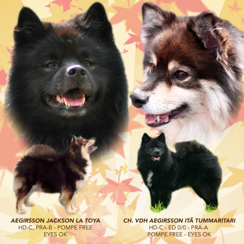 Aegirsson - Chien finnois de Laponie - Portée née le 20/10/2018