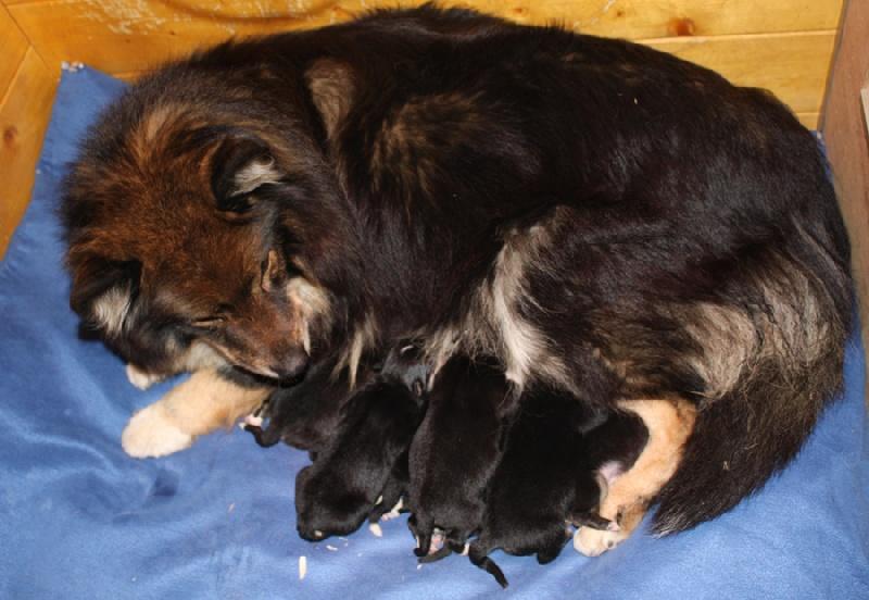 Aegirsson - Chien finnois de Laponie - Portée née le 08/04/2010
