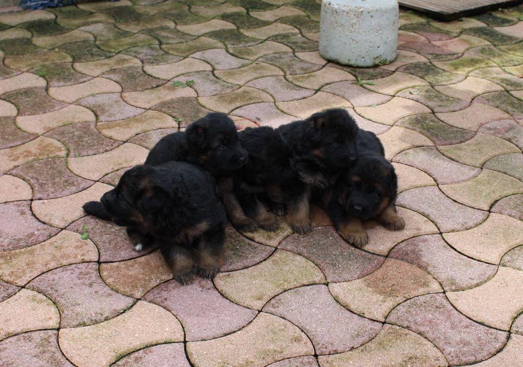 Chiot - Elevage de la Roche Clotilde - eleveur de chiens