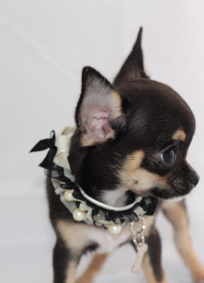 de la Vallée des Aymaras - Chiot disponible  - Chihuahua