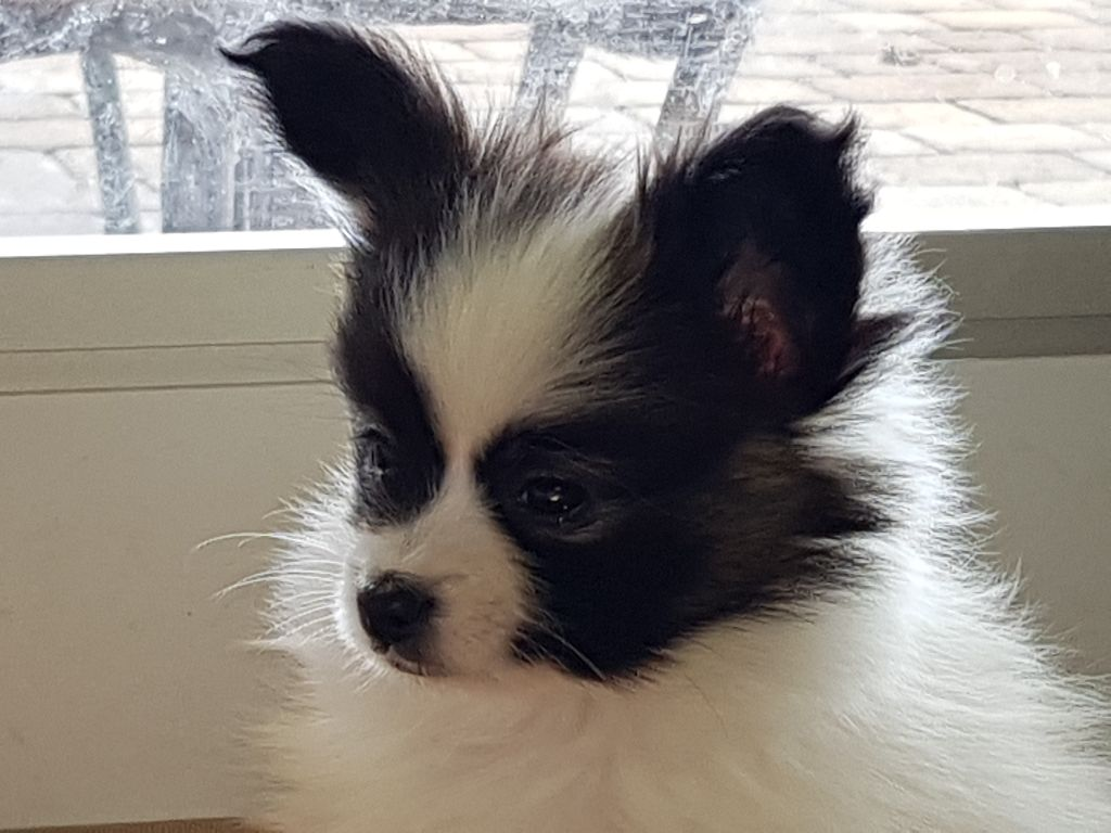de la grange bailly - Chiot disponible  - Epagneul nain Continental (Papillon)