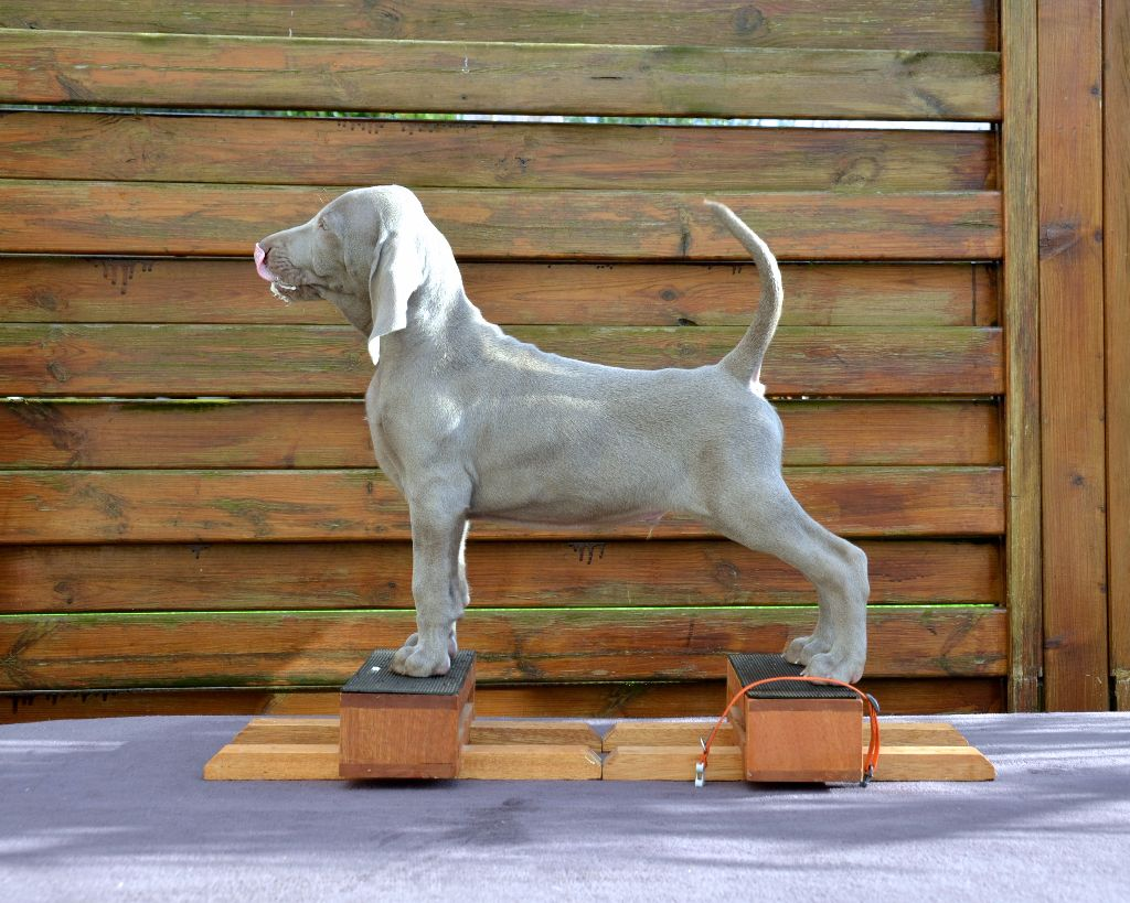 von silberweiss jäger - Chiot disponible  - Braque de Weimar