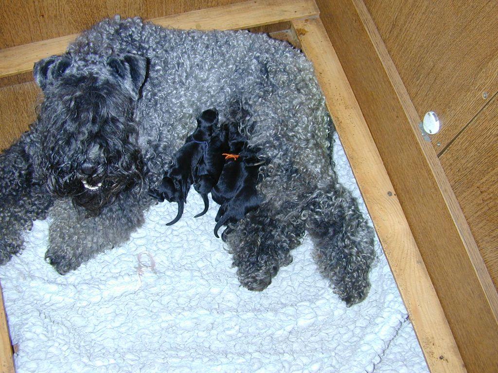 de Glenderry - Les bébés Kerry sont nés !