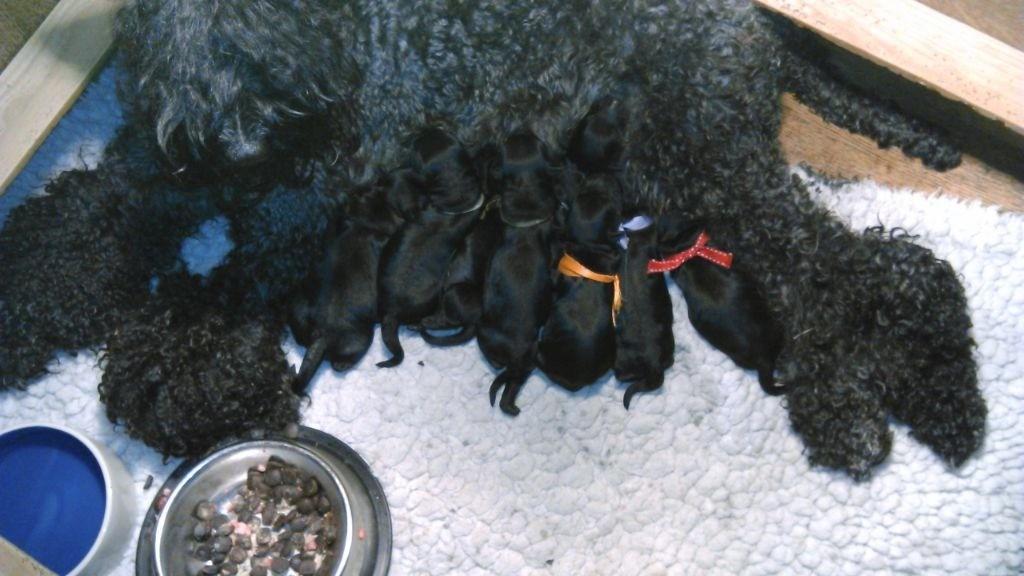 de Glenderry - Chiot disponible  - Kerry Blue Terrier