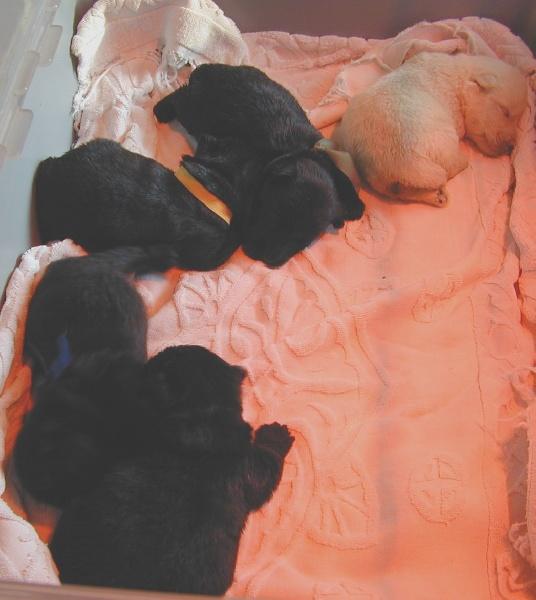 de Glenderry - Scottish Terrier - Portée née le 21/05/2010