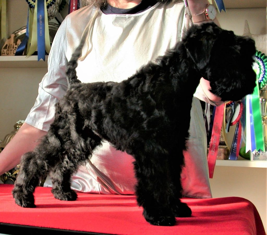 de Glenderry - Chiot disponible  - Kerry Blue Terrier