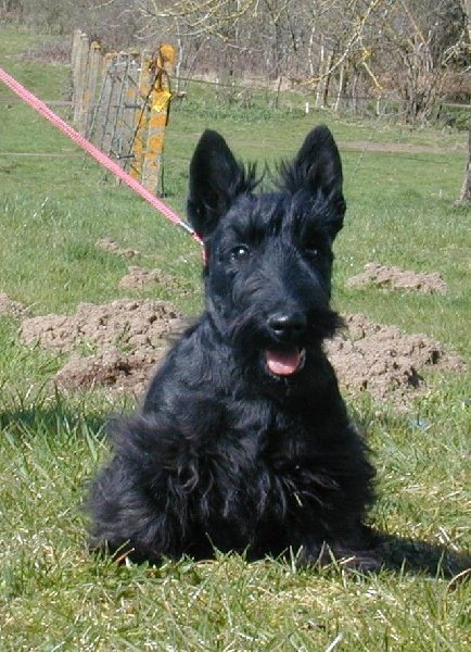 chiot elevage de glenderry eleveur de chiens scottish terrier. Black Bedroom Furniture Sets. Home Design Ideas