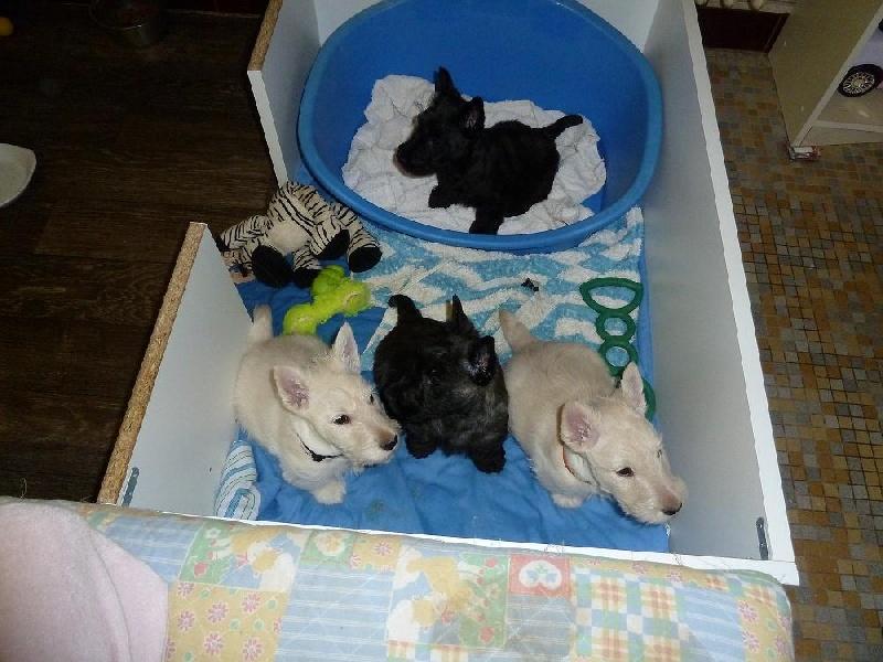 de Glenderry - Scottish Terrier - Portée née le 03/01/2012
