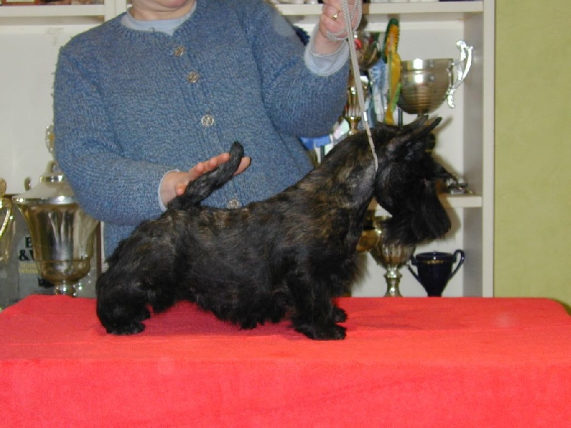 de Glenderry - Scottish Terrier - Portée née le 07/09/2015