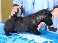 de Glenderry - Scottish Terrier - Portée née le 20/03/2015