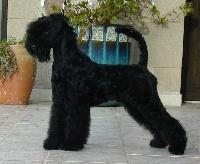 de Glenderry - Kerry Blue Terrier - Portée née le 25/07/2015