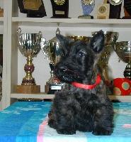 de Glenderry - Scottish Terrier - Portée née le 23/12/2010