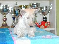 de Glenderry - Scottish Terrier - Portée née le 14/12/2010