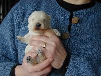 de Glenderry - Scottish Terrier - Portée née le 26/11/2014