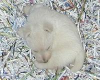 de Glenderry - Scottish Terrier - Portée née le 04/07/2014
