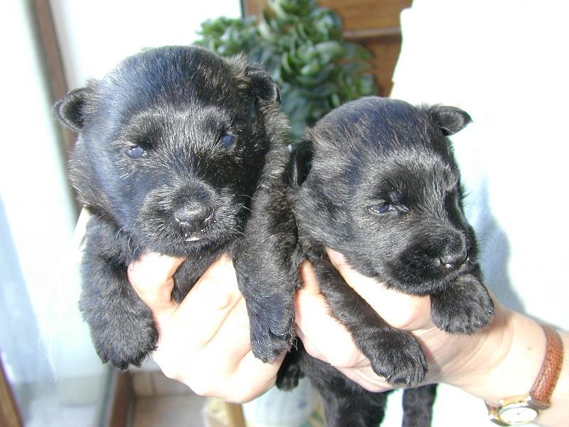 de Glenderry - Scottish Terrier - Portée née le 04/10/2013