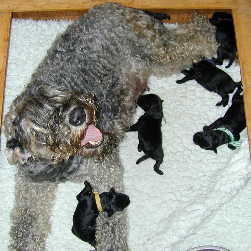 de Glenderry - Kerry Blue Terrier - Portée née le 22/06/2010