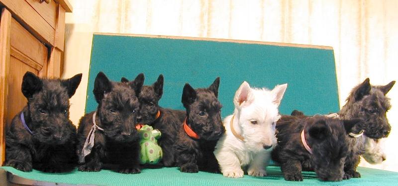 de Glenderry - Scottish Terrier - Portée née le 07/02/2008