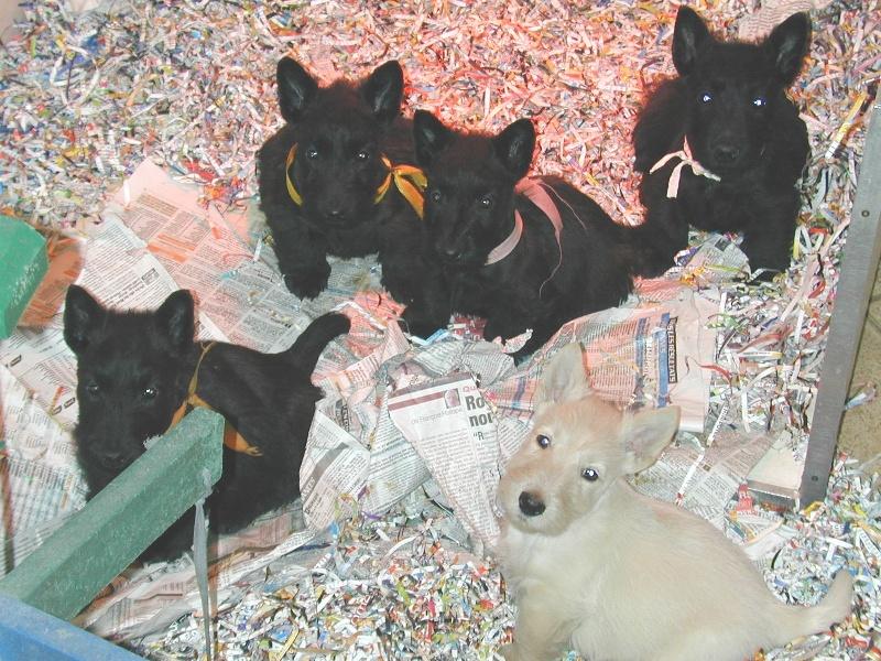 de Glenderry - Scottish Terrier - Portée née le 17/12/2011