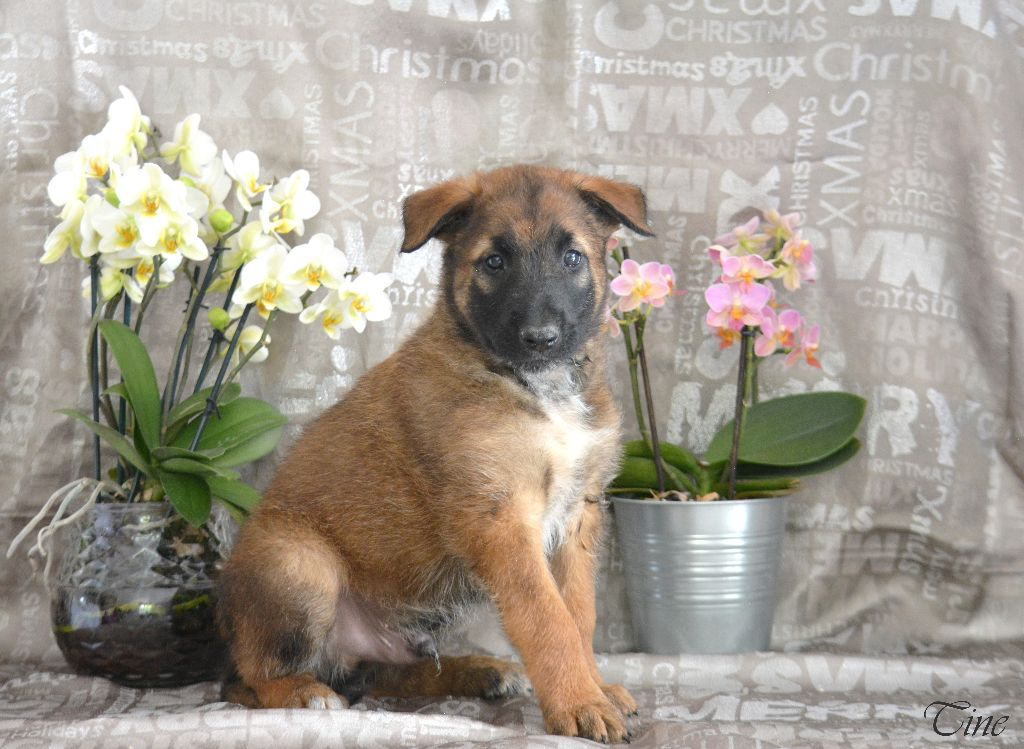 d'eroudur - Chiot disponible  - Berger Belge