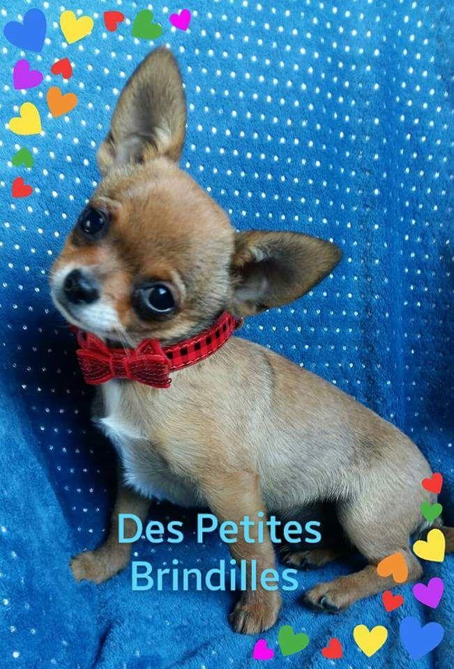 Des Petites Brindilles - Chiot disponible  - Chihuahua
